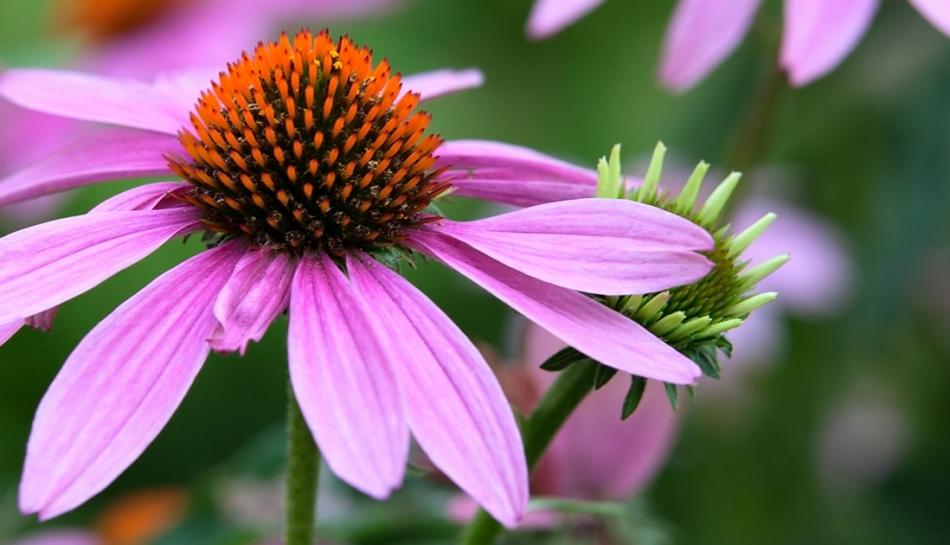 Echinacea: un valido aiuto al sistema immunitario