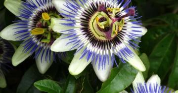 Immagine per l'articolo: La passiflora, rimedio naturale che concilia il sonno