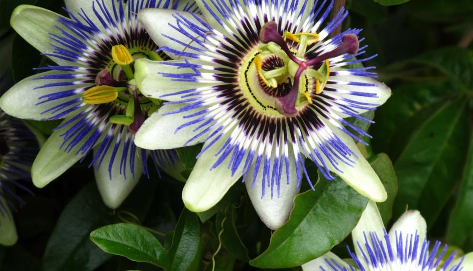 La passiflora, rimedio naturale che concilia il sonno