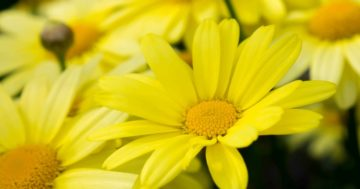 Foto ravvicinata di un fiore di arnica montana